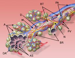 Schematische Darstellung eines Bronchiolus terminalisA: Alveolen, M: zirkuläre Muskelschicht des Bronchiolus, D: Schleimhautdrüse, BT: Bronchiolus terminalis, PA: Äste der Pulmonalarterie, PV: Äste der Pulmonalvenen, N: Nerv, BR: Bronchioli respiratorii, AS: Alveolarsepten, DA: Ductus alveolaris